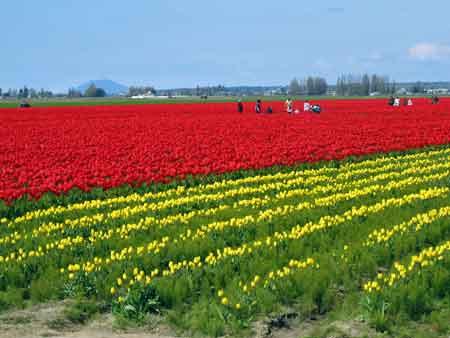 tulip_01.jpg