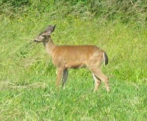 deer_orchard_7-7-2008.jpg