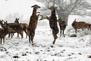 england_April_snowfall_deer.jpg