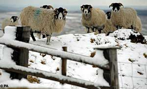 england_April_snowfall_sheep.jpg