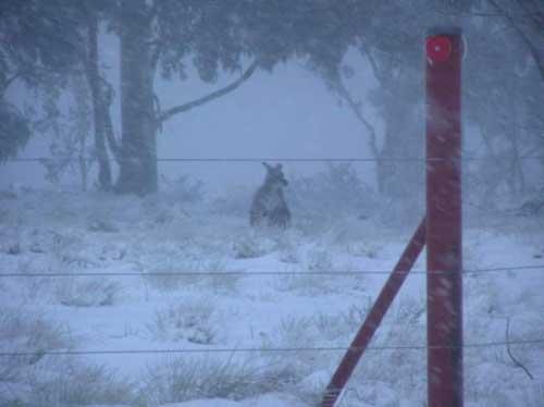 australia_roo_snow.jpg