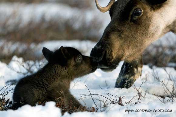 gorshkov_moose.jpg