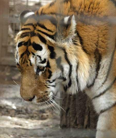 khasam_tiger.jpg