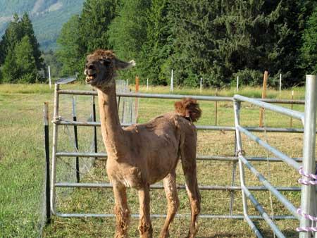 llama_naked.jpg