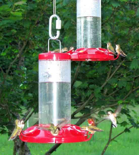 Hummingbird Gluttony