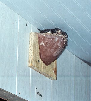 barn-swallow-nest.jpg
