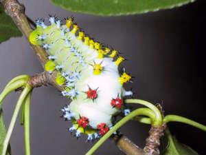 fourthinstar-silkworm.jpg