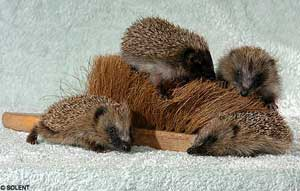 hedgehog_surrogate_mother.jpg