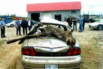moose-out.jpg
