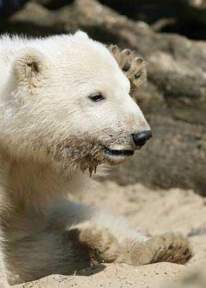polar_bear_knute.jpg