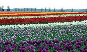 skagit-tulips.jpg